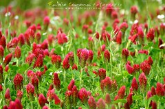 Prato rosso - Red lawn (Fabio Corona) Tags: sardegna flowers flower fiori trifolium trifoglio sulcis incarnatus santadi incarnato
