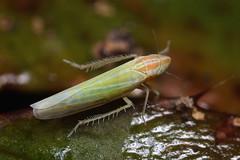 leafhopper (myriorama) Tags: fern leafhopper hemiptera cicadellidae auchenorrhyncha cicadoidea typhlocybinae dikraneura dikraneurini dikraneuraabnormis
