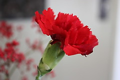 New Years Day (tiffanylea1) Tags: flowers flower carnation redflowers redcarnation
