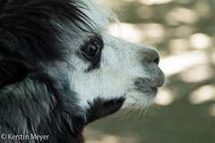 black and white (kerstin_meyer) Tags: white black alpaca canon germany schwarz weis alpaka