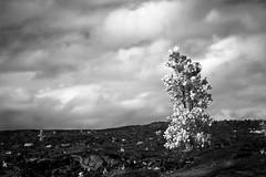 Rebirth (A. Strakey) Tags: blackandwhite bw monochrome ir hawaii lava infrared hi hawaiivolcanoesnationalpark thebigisland lavaflow convertedir chainofcratersrd