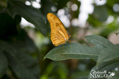 Butterfly Conservatory and Venom Exhibit (Naturally in Niagara) Tags: insect cobra snake frog lizard scorpion toad catterpillar cacoon butterflyconservatoryandvenomexhibit