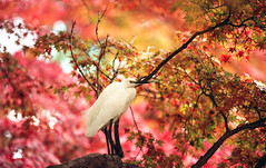 Little Egret, Nara, Japan (Christopher Brian's Photography) Tags: bird japan kodak iso400 autumncolours 35mmfilm nara canoneoselanii sigma7020028exhsm epsonv600