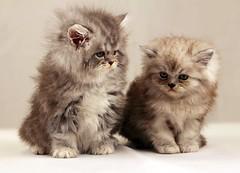 Cat9661 (63) (Cat9661) Tags: animals cat kittens حيوانات مون قطط هاف بسة فيس شيرازي بيكي بساس هملايا