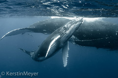 take a look at me now . . . (kerstin_meyer) Tags: canon mammal marine underwater whale humpback calf humpbackwhale tonga wal megapteranovaeangliae vavau unterwasser cetacea buckelwal