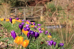 ... (Astrida Simane) Tags: park flowers england orange brown tree green london nature water yellow canon photography spring purple crocus