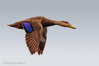 Lady Duck Flyby
