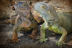 Double Trouble :o) (sminky_pinky100 (In and Out)) Tags: travel vacation tourism closeup reptile profile honduras tropical caribbean roatan claws iguanas naturesgallery omot iguanafarm greeneden masterclassexhibition thenewmasterclass