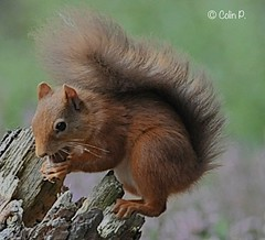 Red Squirrel (Sciurus vulgaris) Explore 18th March #316 (Col-page) Tags: