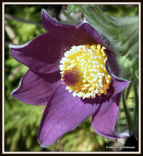 Pulsatilla vulgaris ( pasque flower )