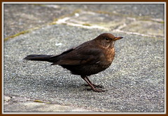 Turdus merula (The Old Brit) Tags: nature birds wildlife turdusmerula ornithology blackbird eurasianblackbird commonblackbird femaleblackbird