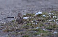 (DigitalCanvas72) Tags: winter snow nature water grass birds animals outdoors moss spring woods land coldweather gravel wildbirds nikon70300mmvr nikond7000 presurve