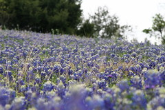 Springtime in Texas (Shellnort) Tags: texas wildflowers bluebonnets purpleandgreen texasbluebonnets austinflowers