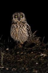 2013-03-26-Bugey-Lechuza-074 (https://www.instagram.com/masjota/) Tags: bird ave oiseau nuco rapaz rapacious rapace shortearedowl asioflammeus búhocampestre hiboudesmarais lechuzacampestre lechuzóndepajonal