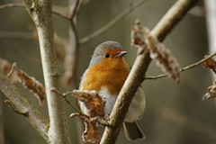 Robin (Rovers number 9) Tags: uk england march moss spring minolta bokeh sony lancashire leighton silverdale leightonmoss a65 2013 minoltaaf100200f45 rspbleightonmoss march2013 bkhq minoltabokeh sonya65