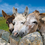 "The Friendly Donkeys of Mannin <a style=""margin-left:10px; font-size:0.8em;"" href=""http://www.flickr.com/photos/89335711@N00/8595557457/"" target=""_blank"">@flickr</a>"