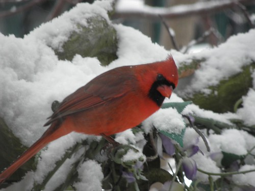 Winter Cardinal of 2012