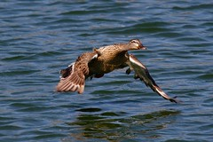 Female Mallard in flight (Theo Arnold) Tags: motion bird female duck flight mallard anatinae