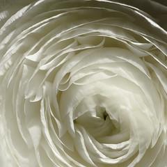 Pure Buttercup (SylvainMestre) Tags: 3 flower macro fleur buttercup flash snooze pure 4u 80200 renoncule 200mm extensionring makinon