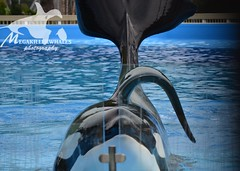 DO NOT USE (Megakillerwhales) Tags: world sea florida dolphin malia dolphins whale whales orca seaworld kayla shamu killerwhale orcas tilly killerwhales katina orcawhales nalani seaworldorlando shamushow orcawhale oneocean trua tillikum orcashow makaiko nalanidreamer megakillerwhales