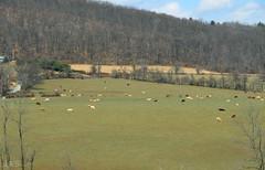 Cow Landscape (vmax4coco) Tags: animals canon landscape cattle cows
