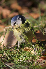 Nest building (StephenEThomas) Tags: grass moss spring bluetit nestbuilding mouthful