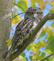 Tawny Frogmouth : First encounter . . . (Clement Tang ** Busy **) Tags: autumn nature female afternoon wildlife australia victoria camouflage avian hawthorn nationalgeographic birdwatcher tawnyfrogmouth yelloweye podargusstrigoides closetonature concordians