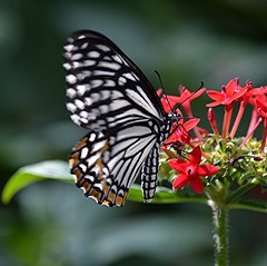 Fluttering Common mime nectars on red Pentas in bright sunlight (jungle mama) Tags: nectar pentas fairchildgarden fairchildtropicalbotanicgarden chilasaclytia frameit tropicalbutterflies commonmime thebestofday gnneniyisi redpentas mygearandme sunrays5 wingsofthetropics