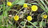 Coltsfoot IR  P1000961 (Pitzy's Pyx, keep snapping away!.) Tags: scoopt