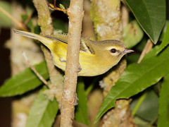 Viro  ailes jaunes / Yellow-winged Vireo (mitch099) Tags: costa bird nature beauty rica beaut oiseau dota jaunes ailes vireo savegre yellowwinged micheleamyot mitch099