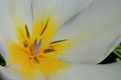 Tulip Macro (hpaich) Tags: desktop wallpaper white flower macro nature floral yellow garden spring flora blossom background petal bloom desktopwallpaper desktopbackground