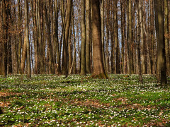 White and green Spring Carpet (Batikart) Tags: wood blue trees light shadow plants sunlight white flower tree green nature leaves forest canon germany landscape geotagged carpet deutschland leaf spring oak flora europa europe blossom natur pflanze blumen textures anemone grn blau blte landschaft wald bltter weiss bume schatten baum beech frhling g11 buschwindrschen anemonenemorosa badenwrttemberg frhjahr swabian 100faves 2013 viewonblack remseckamneckar bltenteppich batikart canonpowershotg11