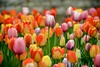 Tulips at the Cincinnati Zoo (Dave Schreier) Tags: pink flowers ohio red yellow dave zoo colorful tulips many cincinnati multiple schreier wwwdlsimagescom