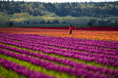Walking Back (absencesix) Tags: flowers red orange plants nature colors field washington spring seasons purple unitedstates tulips bokeh events noflash april northamerica skagit mountvernon locations skagitvalley locale 400mm tulipfields manualmode iso50 2013 400mmf28 geo:state=washington exif:iso_speed=50 hasmetastyletag hascameratype naturallocale haslenstype selfrating3stars exif:focal_length=400mm camera:make=nikoncorporation 1640secatf40 exif:make=nikoncorporation geo:countrys=unitedstates exif:aperture=40 assortedevents subjectdistanceunknown geo:city=mountvernon nikond800e exif:model=nikond800e camera:model=nikond800e exif:lens=4000mmf28 nikkor400mmf28gedafsvr april142013 geo:lon=12244688 geo:lat=48423241666667 skagitvalleytulipfestival04152013 482524n1222649w mountvernonwashingtonunitedstates