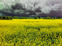 Storm coming over the yellow landscape (Uscè (OFF,OFF!!!!!)) Tags: flowers friends light shadow sky italy panorama storm black flower tree green texture nature colors yellow skyline clouds skyscape landscape photo spring europe perspective jesi eugenio iphone4 staffolo coppari paesaggimarchigiani bestcapturesaoi mygearandme mygearandmepremium mygearandmebronze mygearandmesilver blinkagain uscè rememberthatmomentlevel4 rememberthatmomentlevel1 rememberthatmomentlevel2 rememberthatmomentlevel3 rememberthatmomentlevel9 rememberthatmomentlevel5 rememberthatmomentlevel6 rememberthatmomentlevel10