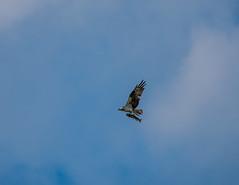 DSC_2295 (Michael Mckinney (Find my Twitter @MMckinneypho) Tags: bird fish dinner flight nature sky wildlife wings creek provincial park calgary alberta canada