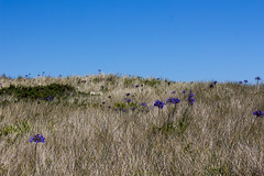 IMG_4549_edited-1 (Lofty1965) Tags: islesofscilly ios tresco agapanthus