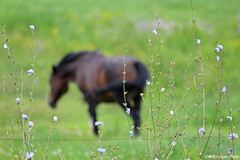 Dans mes rves... (Marie-Jose Lvesque) Tags: cheval horse animal nature wildlife isleauxcoudres charlevoix qubec canada summer t 2016 outdoor