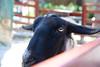 2016 北海道D6 4x6 3406 (chaochun777) Tags: 北海道 旭山 動物園 露營 自由行 猴子 長臂猿 猩猩 雲豹 花豹 老虎 獅子 北極熊 企鵝