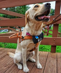 Seeing eye pupper (jessicabouloutian) Tags: cute animal servicedog seeingeyedog puppy dog