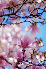 Looking up (MATluong) Tags: blossom bloom flower flowers flora spring springtime pink beautiful white dogwood magnolia washington cherryblossom floral tree matluong sonya58 sal50f14z sonyalphadslr planar5014za