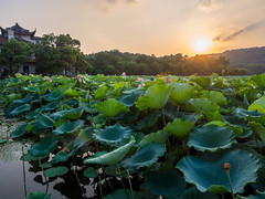 Lotuses in the rays of the setting sun (Sergbt) Tags: lotus flower sun setting sunset asia water lake hangzhou china sky