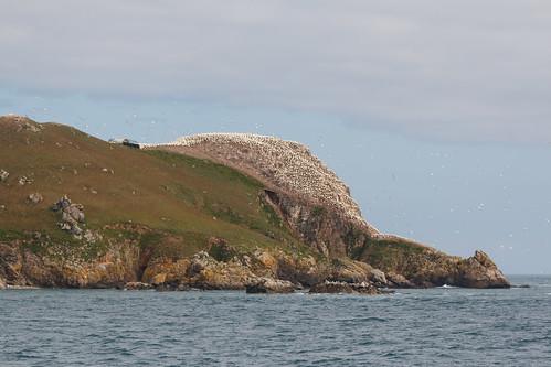 Fous de Bassan (Morus bassanus) sur l'île Rouzic