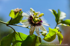 Passiflora flower (Dhammika Heenpella / Images of Sri Lanka) Tags: dhammikaheenpella imagesofsrilanka srilanka passiflora passifloraceae anther closeup filament flower green horizontal leaves nature outdoor passionflower passionvine passionfruit petals photography photos plant stigma