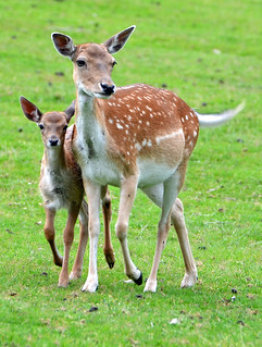Bambi with mum