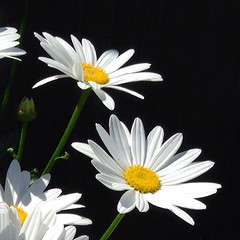 A daisy a day (Brenda Boisvert ..) Tags: daisy daisies marguerites white yellow black garden blooms blossoms