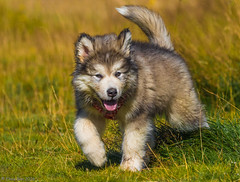 9 week old Malamute puppy <3 (Elma_Ben) Tags: 9weekold malamute puppy beautiful dog iceland canoneos7dmarkii sigma150600mm elmaben