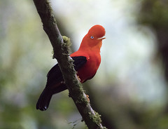 Peru (richard.mcmanus.) Tags: peru bird manu mcmanus cockoftherock wildlife latinamerica rainforest cloudforest