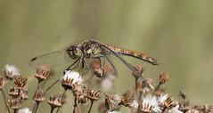 Bruinrode heidelibel  ,  Brown darter, (Thijs de Bruin) Tags: dragonfly bruinrodeheidelibel browndarter explore