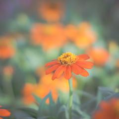 Among friends (JohnNguyen0297 (slowly catching up)) Tags: floral flower soft takumar 50mm takumar50mm johnnguyen johnnguyen0297 a6000 ilce6000 colorful hbw happybokehwednesday manual vintagelens takumar50mmf14